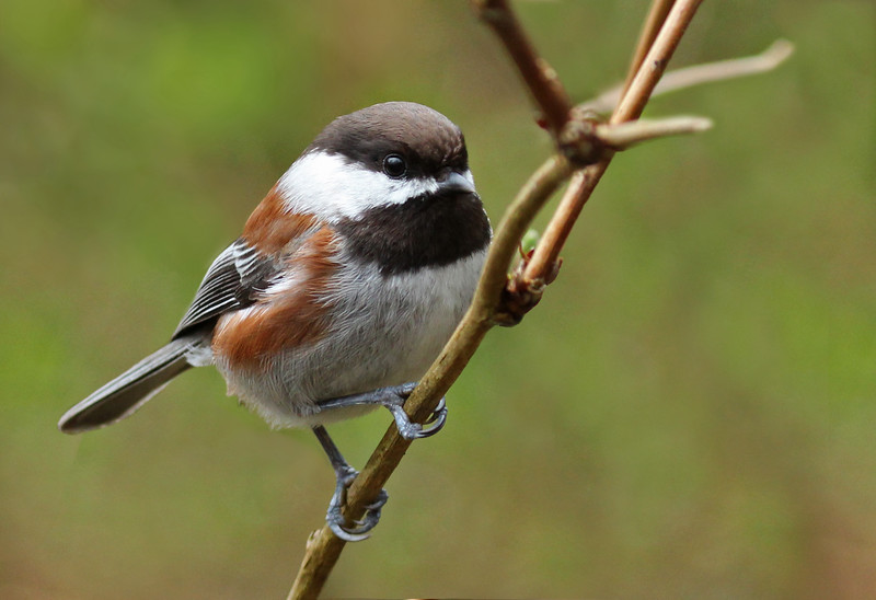 Chestnut-sided chickadee