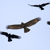 Crows harassing Red-tailed hawk