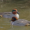 Eurasian (behind) and Green-winged teal (male)