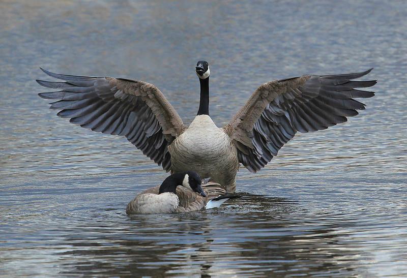 Canada goose (pair)