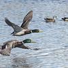 Mallards (male) female and male Wood ducks behind