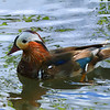 Mandarin duck (male, non-breeding plumage)
