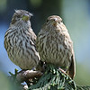 House finches (female)