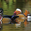 Wood duck (male) Mandarin duck (male)