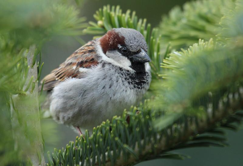 House sparrow (male)