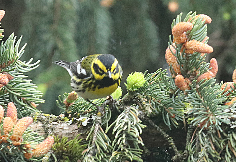 Townsend's Warbler (male)