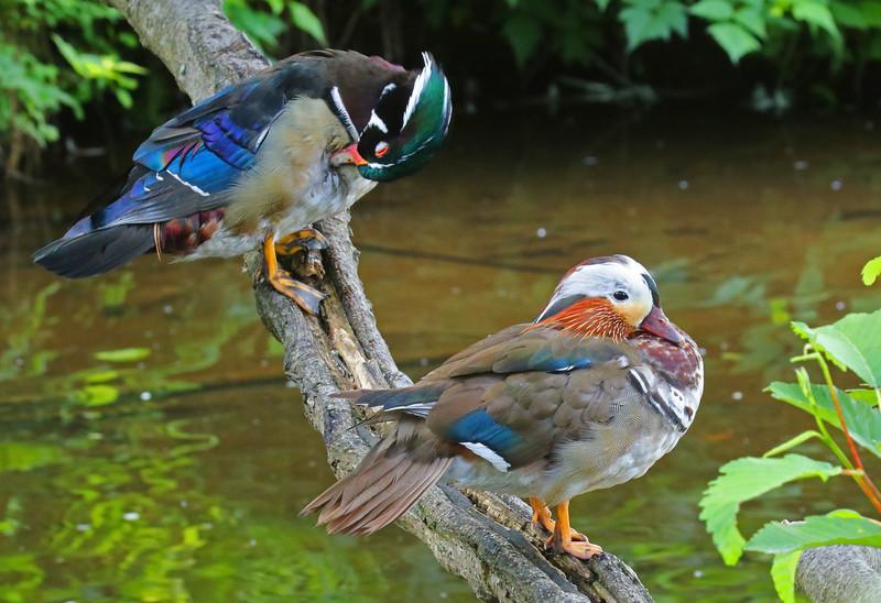 Wood duck ( male) Mandarin duck (male, non-breeding plumage)