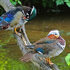 Wood duck ( male) Mandarin duck (male, non-breeding plumage)