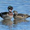 Wood ducks (pair)