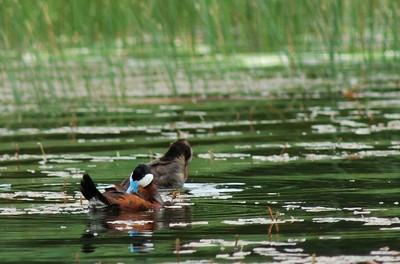Male and female Ruddy Ducks in breeding plumage.