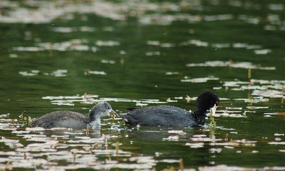 Adult and baby American Coots.  There were at least three or four families at the lake and it was very entertaining watching the babies learn to dive for food.