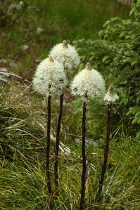 Bear grass was growing (and blooming) everywhere here.