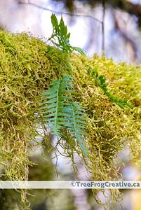 Polypodium glycyrrhiza_McKellar_1