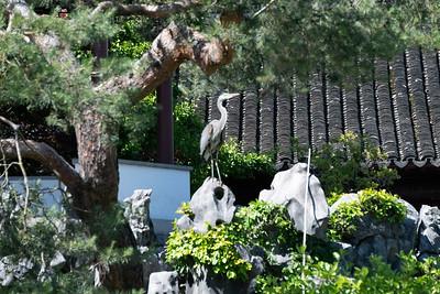 Wild heron thinks it's his private garden.