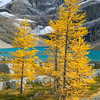 Alpine Larch