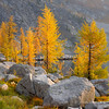 Lyell's Larch at Mortar Lake
