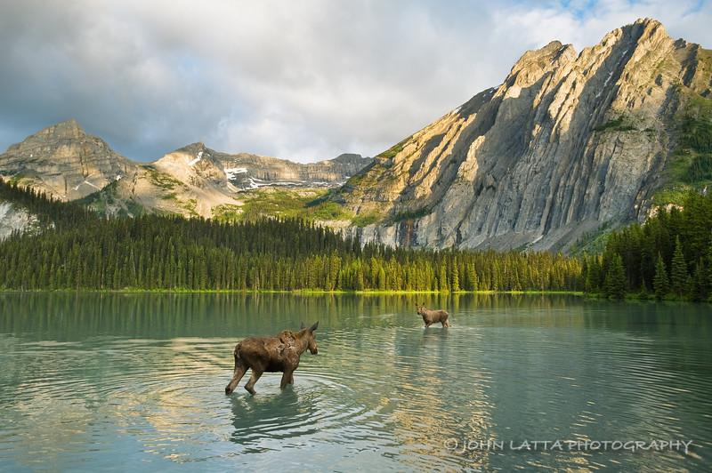 Moose Cow and Calf, Lower Elk Lake