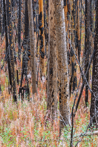 Burned Trees and Fireweed