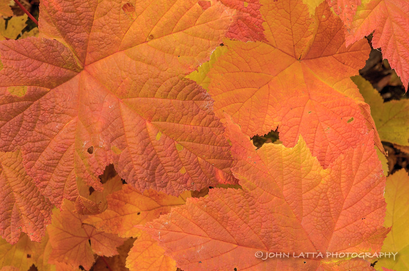 Salmonberry Leaves