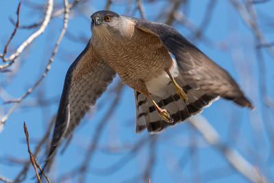 013 Steve Wurz 1 Coopers Hawk AS