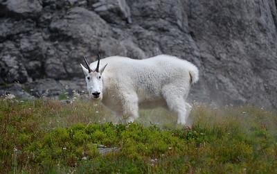 019 Derek Ford 1 Goat AS
