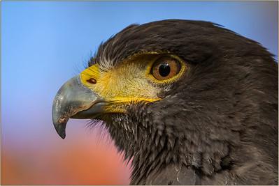 Joyce Burzloff 1 Harris' Hawk Profile