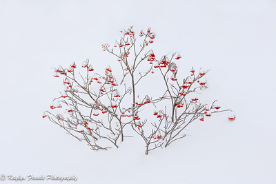 20190101_Winter Berry-2