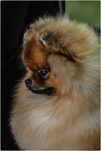 003 ElaineSoule 1 Pomeranian AS