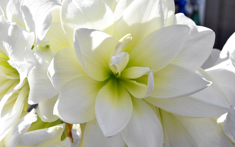 Chris Welsh  1 Amaryllis jpg