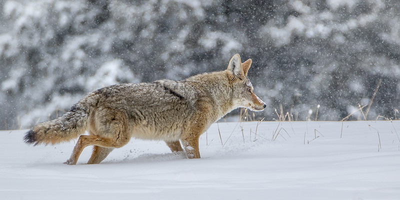 Darin Hlavinka 1 Coyote 2