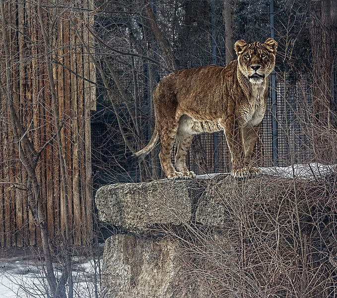 Marie March 2 A Lioness In Winter