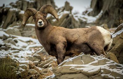 Darin Hlavinka 2 Yellowstone Ram1