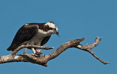 126 Lynn Nunn 1 osprey with fish