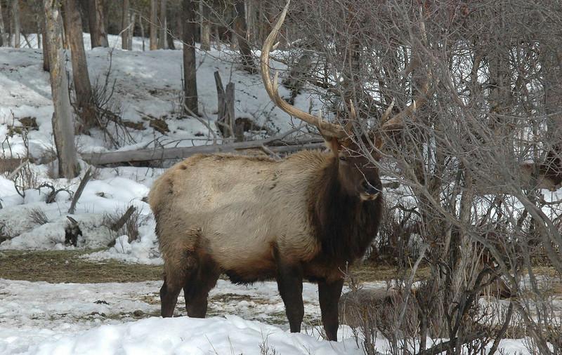 118 Chris Welsh 2  Elk