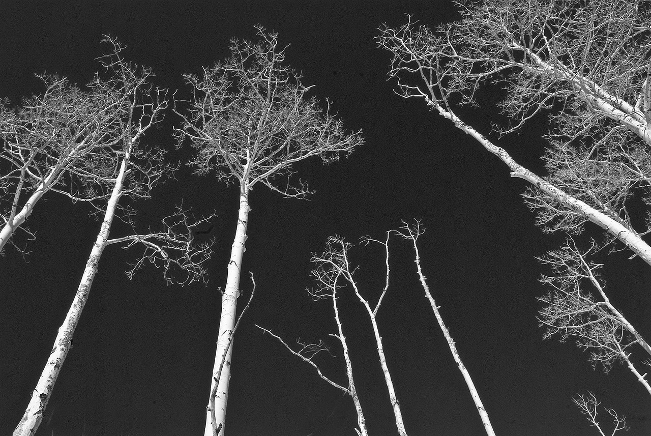113 Lynn Nunn 2 bwbirchtrees