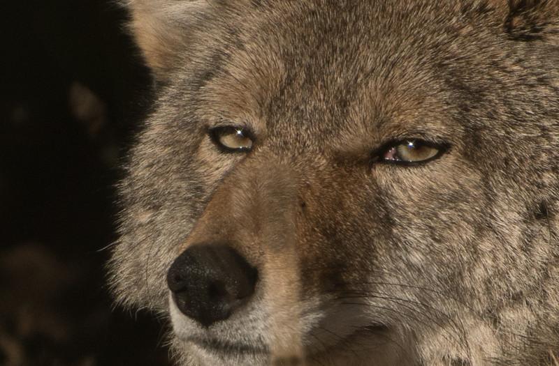 104 PeterSumner 1 Coyote