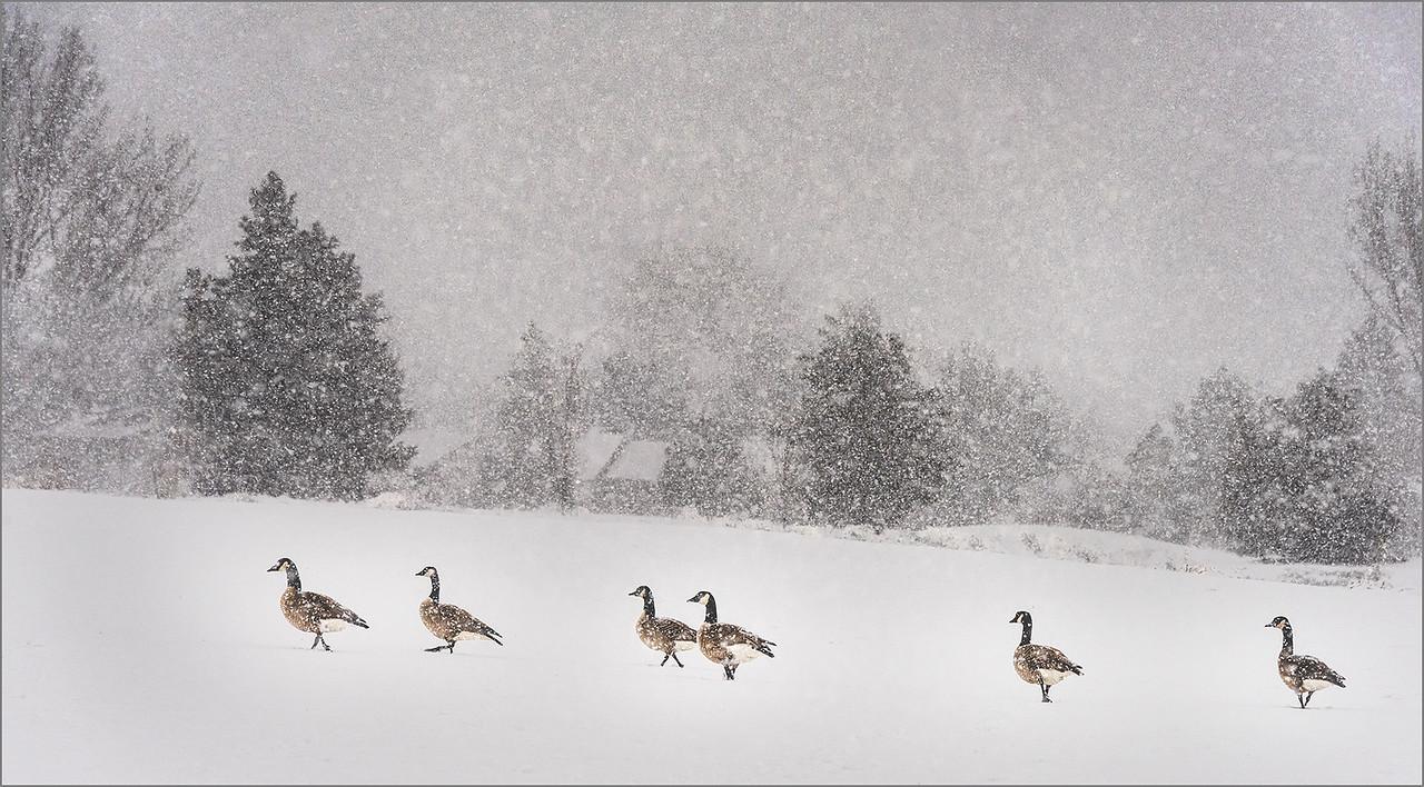 134 Jim Shane 1 Canadian Heavy Snow Geese