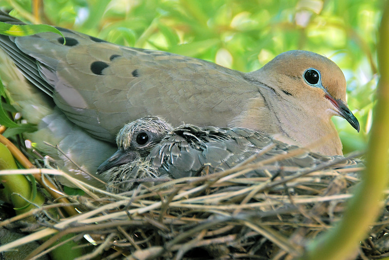 132 Marc Auth 1 Mourning Doves