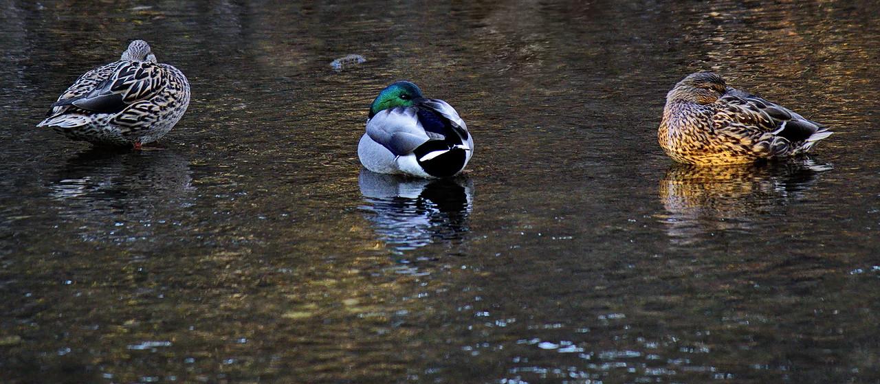 Neale Jenks 2 Duck sryle Siesta