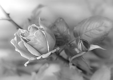 Ruthann Greene 1 Delicate Rose