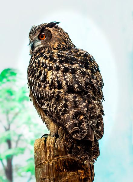011 Paul Jenkins 1 Eurasuan Eagle Owl AS
