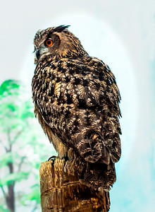011 Paul Jenkins 1 Eurasuan Eagle Owl AS