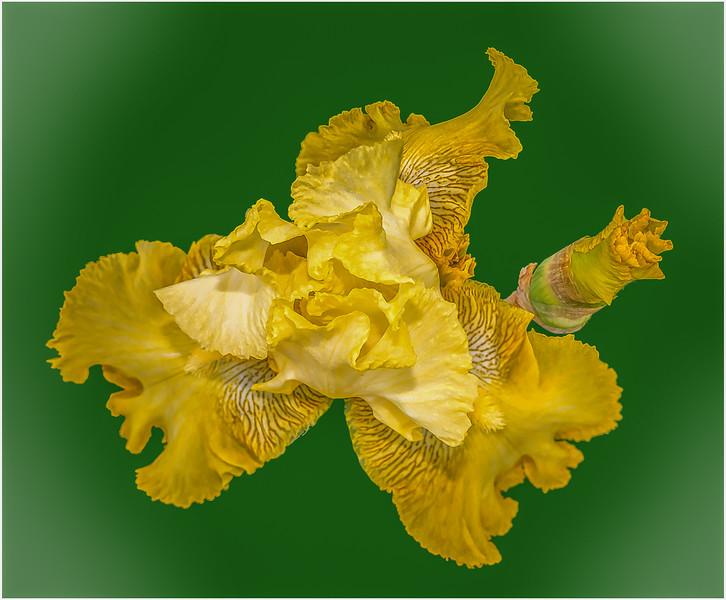 106 Peter Reali 1 Abstract Iris