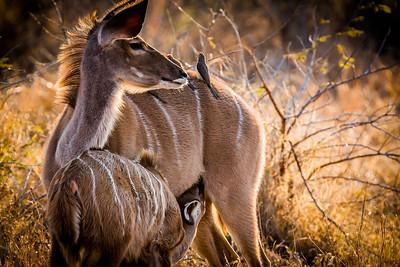 102 Dee Toweill 2 Kudu