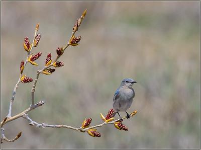 105 Joyce Burzloff  1 Western Blue Bird