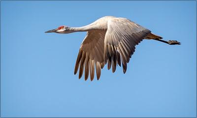 103 Joyce Burzloff 1 Lesser Sandhill crane