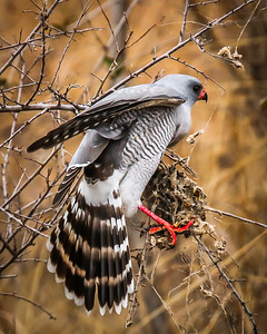 107 Dee Toweill 2  Pale Chanting Goshawk