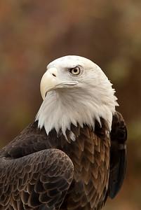 126 Lynn Nunn 2 Bald Eagle