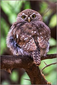 118 Joyce Burzloff 1 1Pearl Spotted Owlet