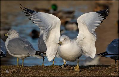 Joyce Burzloff 1 Angel wings of a gull